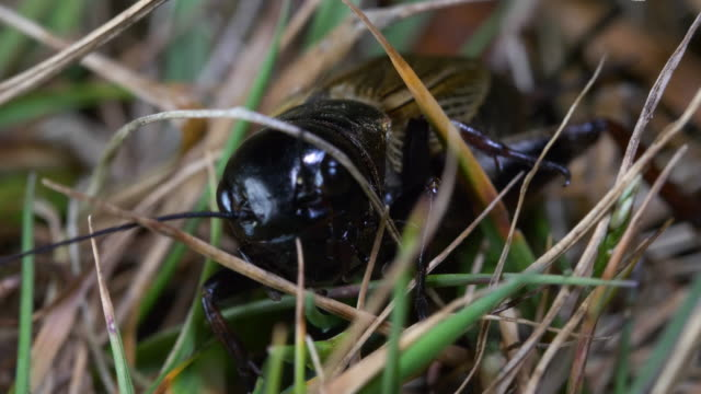 field cricket (gryllus campestris) crawling through grass, south downs - grillo insetto video stock e b–roll