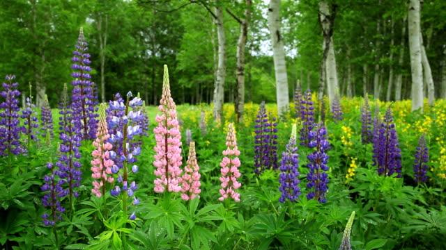 field flower lupin