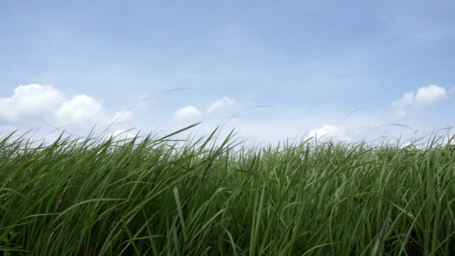 field grass - grass family stock videos & royalty-free footage