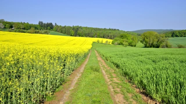 field landscape with path and rape field in spring, miltenberg, spessart, franconia, bavaria, germany - crucifers video stock e b–roll