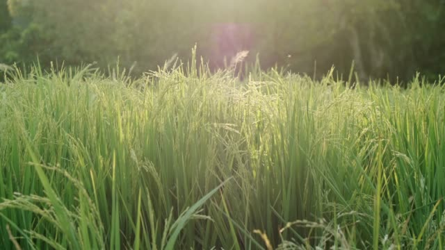 field natural hom mali rice in close up - palouse stock videos & royalty-free footage