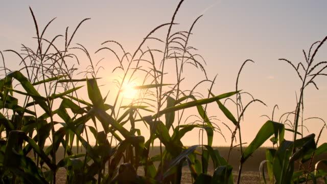 vídeos y material grabado en eventos de stock de ms ds campo de maíz - monocultivo