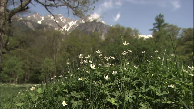 Field of anemone flaccida flowers.