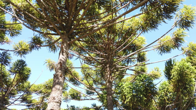 field of araucarias - coniferous stock videos & royalty-free footage