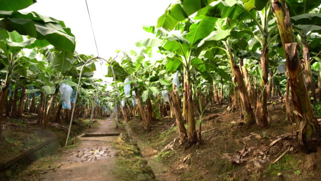 ds field of banana trees in costa rica - banana stock videos and b-roll footage