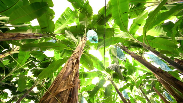 ds field of banana trees - banana stock videos and b-roll footage