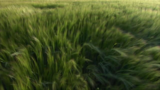 vidéos et rushes de cu field of barley shaking in wind / hertfordshire, england - végétation verdoyante
