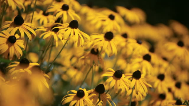 pan field of black-eyed-susan daisies / stowe, vermont, united states - stowe vermont stock videos & royalty-free footage