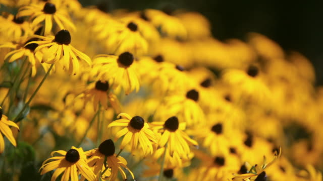 PAN Field of black-eyed-susan daisies / Stowe, Vermont, United States
