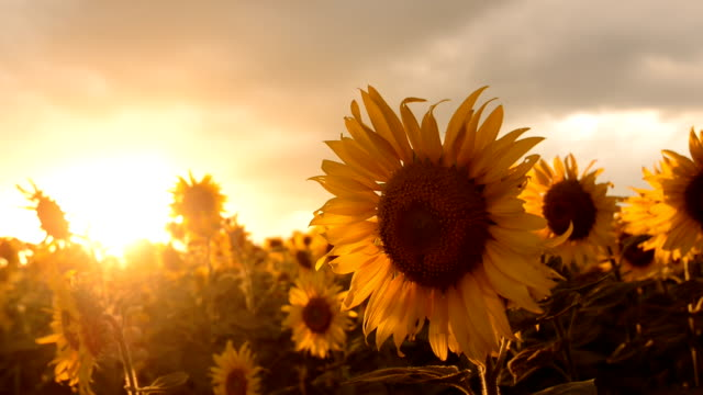 field of blooming sunflowers on a background sunset is Beautiful