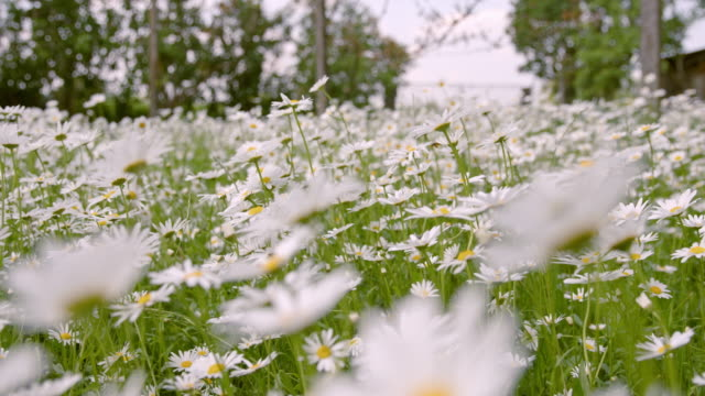 slo mo ds field of blossoming daisies - slovenia meadow stock videos & royalty-free footage