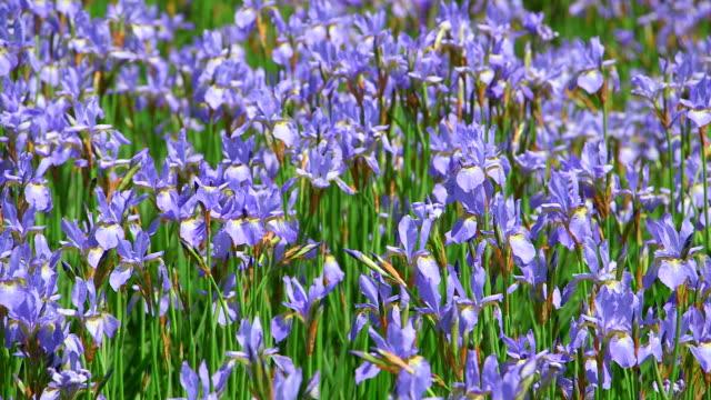 ms field of blue iris flowers / losheim, saarland, germany - iris plant stock videos & royalty-free footage