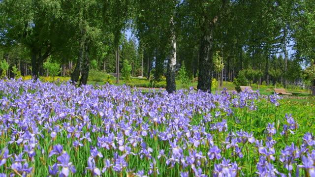 ws field of blue iris in park / losheim, saarland, germany - iris plant stock videos & royalty-free footage