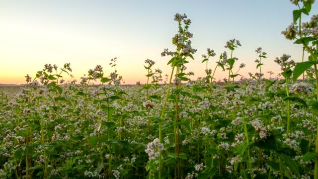 vídeos de stock, filmes e b-roll de t e l campo de trigo sarraceno no nascer do sol - raw footage