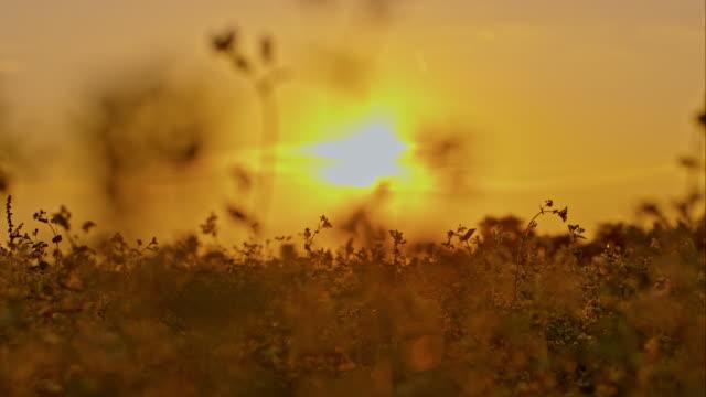 field of buckwheat at sunset - buckwheat stock videos & royalty-free footage
