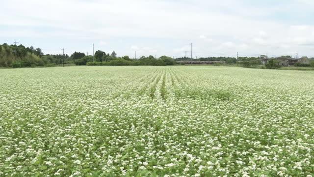 a field of buckwheat flowers, chiba, japan - buckwheat stock videos & royalty-free footage