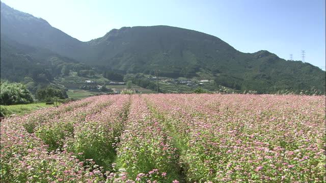 a field of buckwheat flowers spreads across a mountain valley. - buckwheat stock videos & royalty-free footage