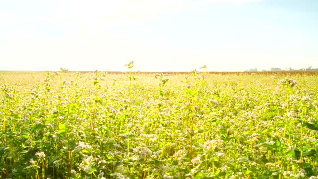 t/l field of buckwheat - buckwheat stock videos & royalty-free footage