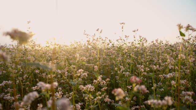 SLO MO Field of buckwheat