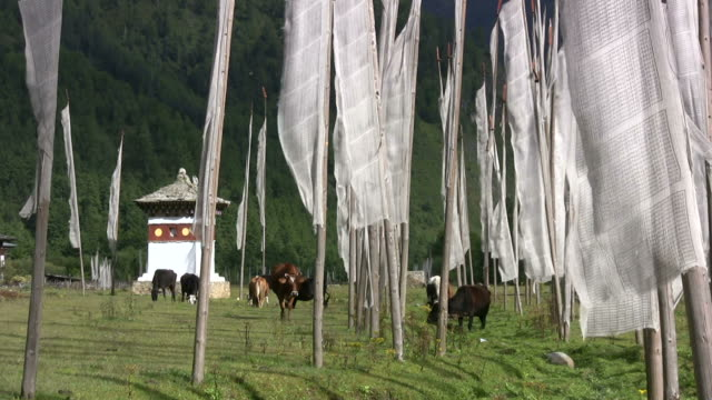 field of buddhis prayer flags amid grazing cows - bhutan stock videos & royalty-free footage