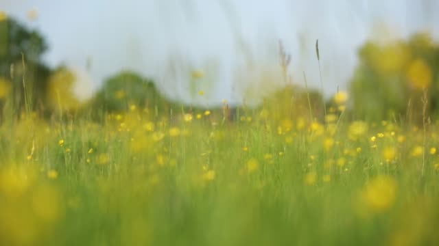 field of buttercups - uncultivated stock videos & royalty-free footage