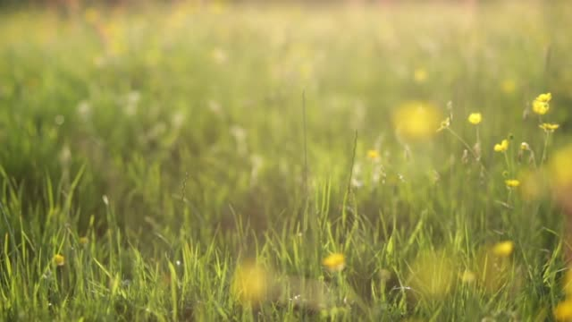 vídeos y material grabado en eventos de stock de campo de buttercups - ranúnculo