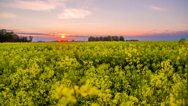 HD DOLLY: Field Of Canola At Sunset
