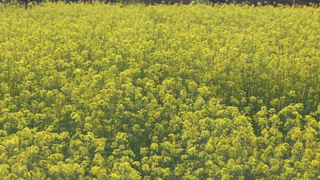 field of canola flowers, shizuoka, japan - canola stock videos and b-roll footage