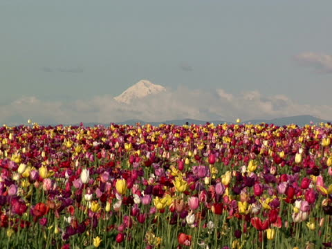 MS, ZI, Field of colorful tulips with Mount Hood in background, Willamette Valley, Woodburn, Oregon, USA