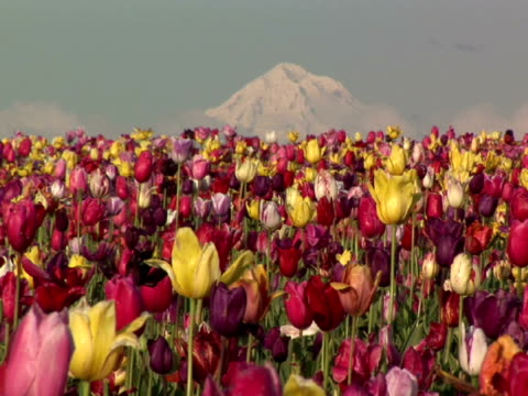 CU, Field of colorful tulips with Mount Hood in background, Willamette Valley, Woodburn, Oregon, USA