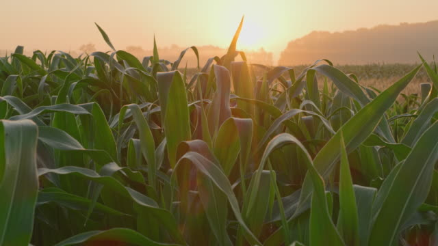 ds field of corn and wheat at sunrise - morning dew stock videos & royalty-free footage