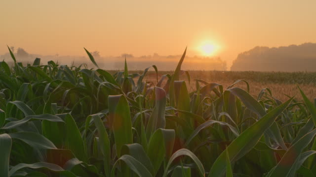 ds field of corn at sunrise - farm stock videos & royalty-free footage