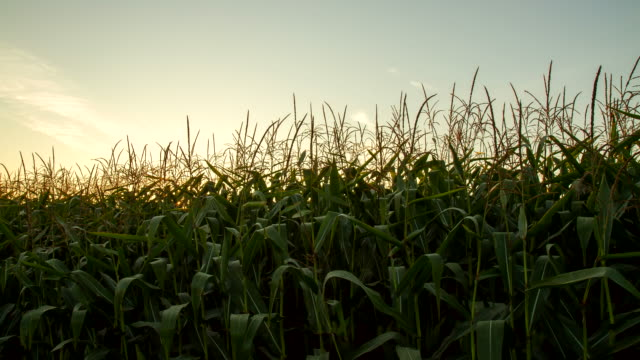 vídeos de stock, filmes e b-roll de t e l campo de milho no nascer do sol - raw footage