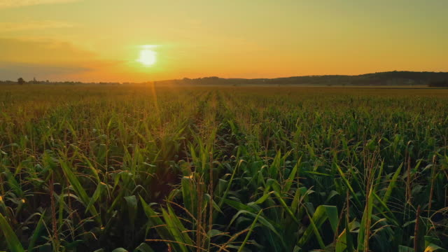 aerial field of corn at sunset - moody sky stock videos & royalty-free footage