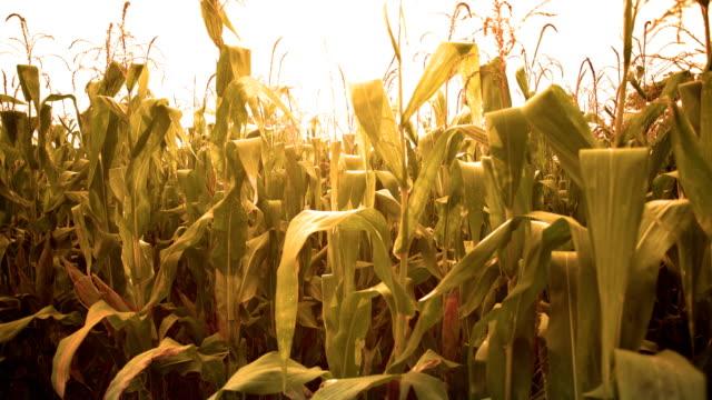 夕暮れ時のトウモロコシ畑 - 野菜 とうもろこし点の映像素材/bロール