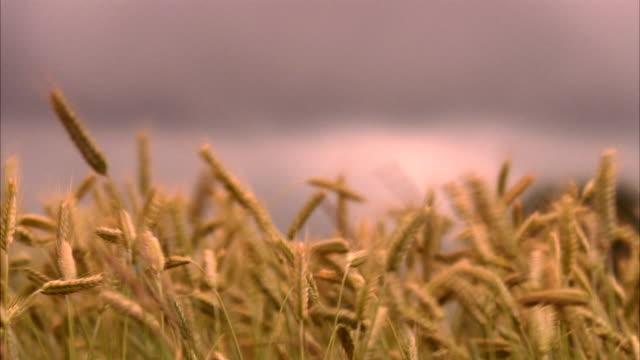 A field of corn in the wind Sweden.