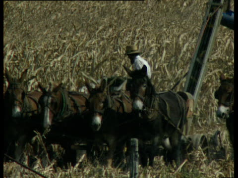 field of corn on amish farm with horses and donkeys pulling machine cutting corn and dropping it into wagon pulled by another two horses pennsylvania - amish stock videos & royalty-free footage