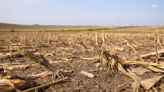 Field of Corn Stubble After Harvest