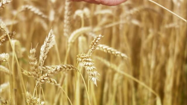 vídeos y material grabado en eventos de stock de a field of corn, sweden. - un solo hombre maduro