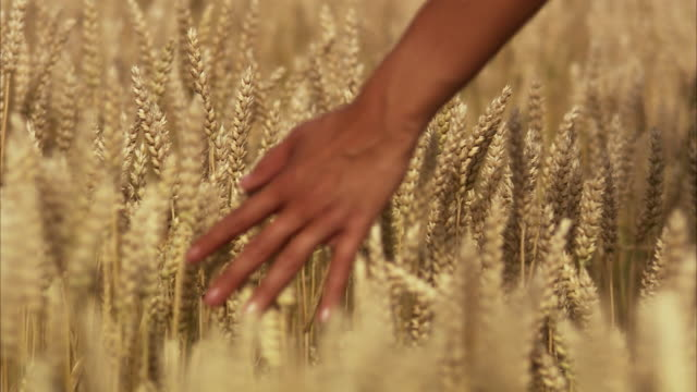 A field of corn Sweden.