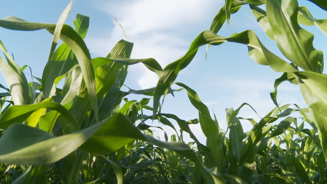 HD CRANE: Field Of Corn