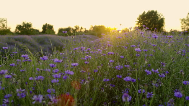 ds field of cornflowers at sunset - wildflower stock videos & royalty-free footage