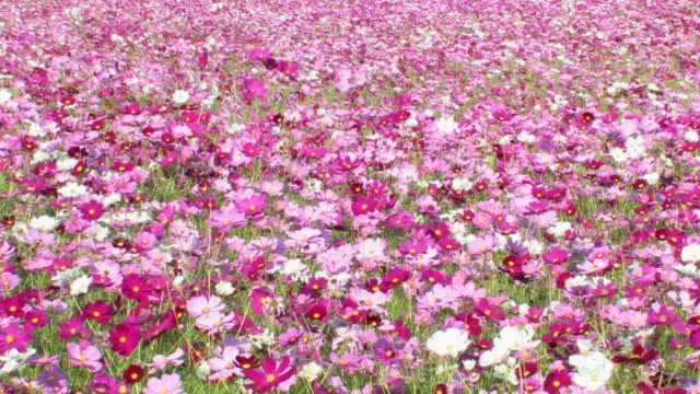 ms field of cosmos blowing in breeze - fukuoka prefecture stock videos & royalty-free footage