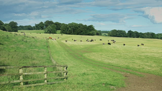 Field of Cows