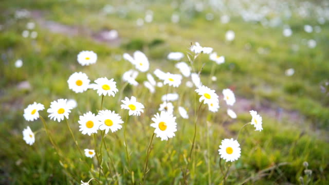 field of daisies - daisy stock videos and b-roll footage