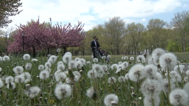 field of dandelions, cherry blossom trees - flushing meadows park, springtime - flushing meadows corona park stock videos & royalty-free footage