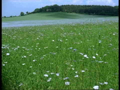 field of flowering linseed blowing in breeze, charlton kings hill, cowley, gloucestershire. spring,summer - perfection stock videos & royalty-free footage