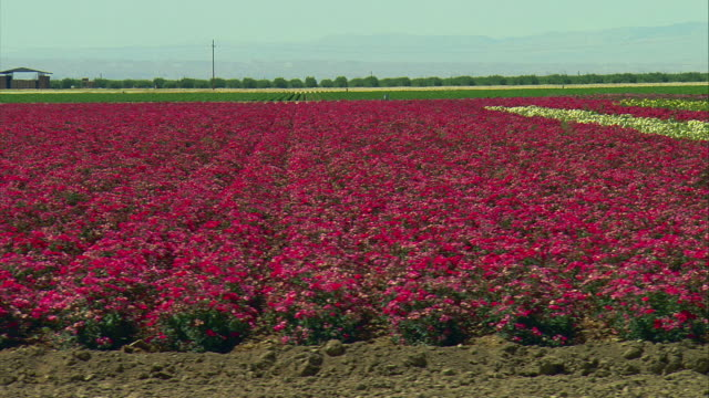 vídeos y material grabado en eventos de stock de ws pan field of flowers at commercial farm, wasco, california, usa - paisaje mosaico