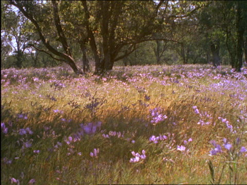 field of flowers blowing in wind / sierra nevada foothills, california - 2001 stock videos and b-roll footage