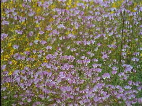 vídeos de stock, filmes e b-roll de field of flowers blowing in wind / sierra nevada foothills, california - 2001
